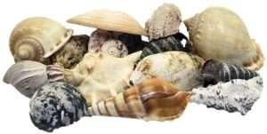 amazon - Seashells